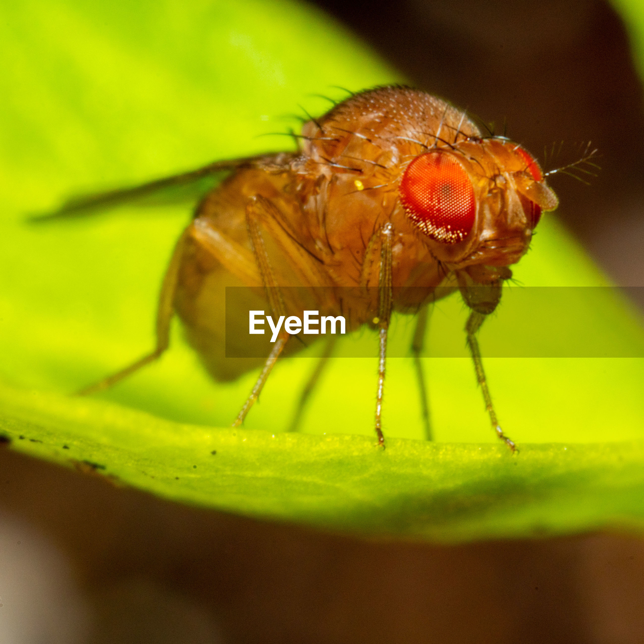 Close-up of a fruit fly on leaf