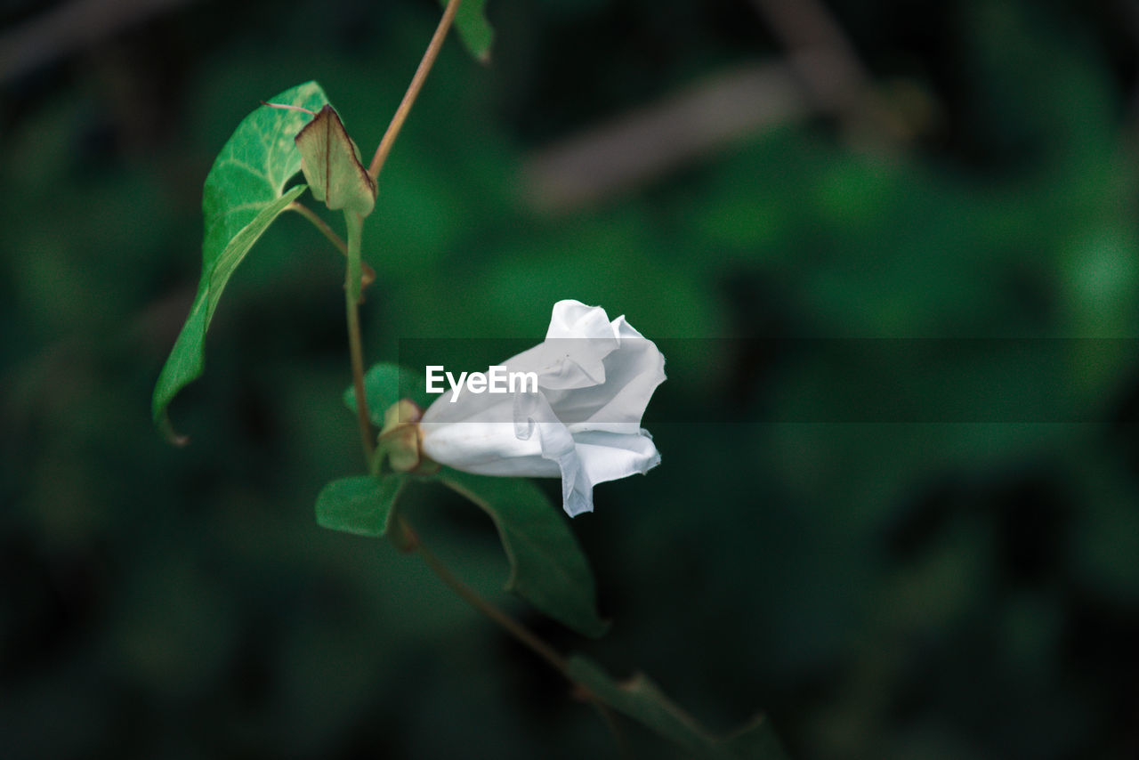 plant, close-up, flower, beauty in nature, flowering plant, fragility, vulnerability, petal, focus on foreground, flower head, no people, freshness, inflorescence, leaf, white color, growth, plant part, nature, day, green color