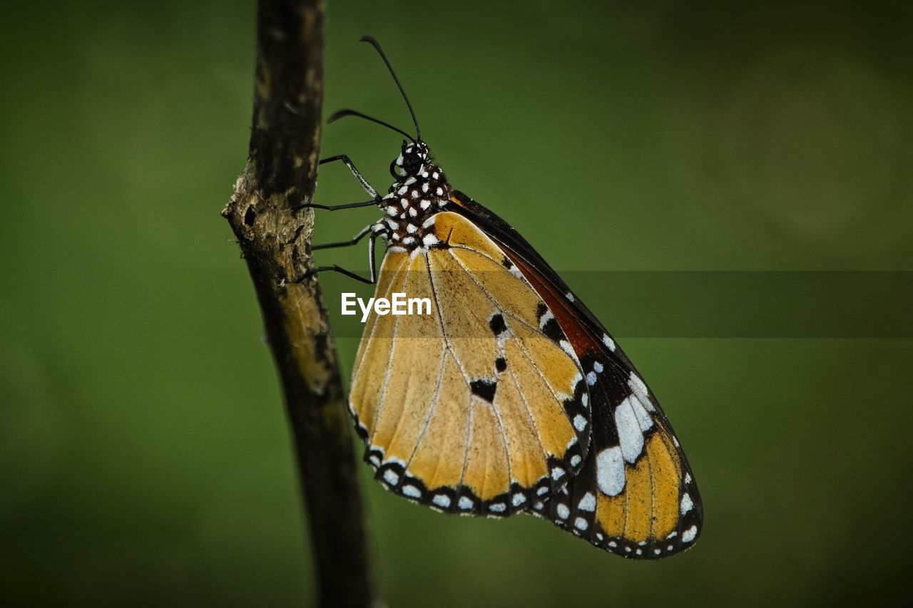 insect, invertebrate, animals in the wild, animal themes, animal wildlife, animal, one animal, animal wing, butterfly - insect, beauty in nature, close-up, plant, no people, nature, focus on foreground, animal markings, day, zoology, animal body part, animal antenna, outdoors, butterfly
