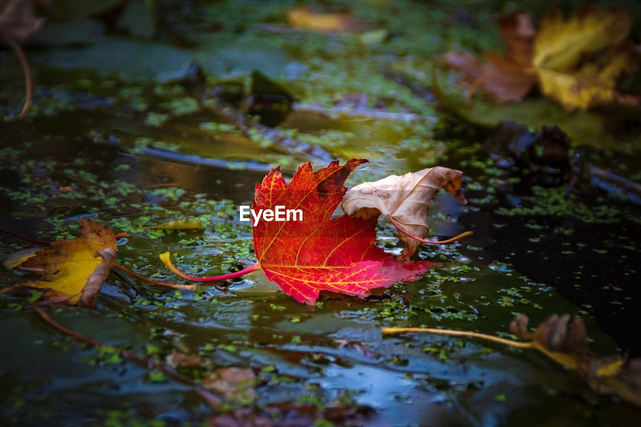 leaf, plant part, autumn, water, nature, plant, change, beauty in nature, day, no people, lake, floating on water, floating, orange color, vulnerability, selective focus, fragility, close-up, outdoors, leaves, maple leaf