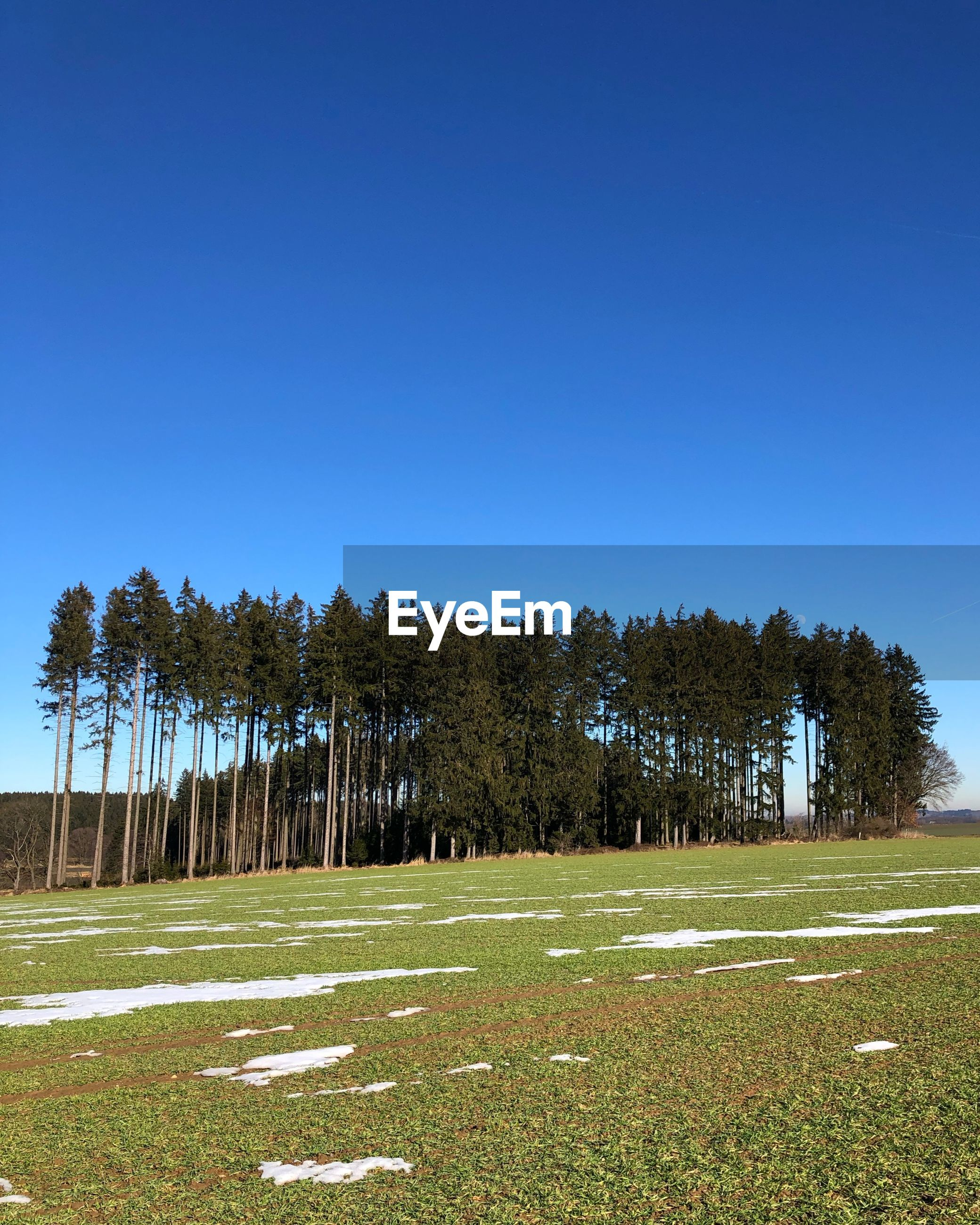 TREES GROWING ON FIELD AGAINST CLEAR BLUE SKY