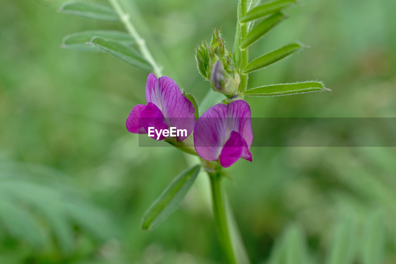 flowering plant, flower, plant, beauty in nature, growth, vulnerability, freshness, fragility, close-up, petal, purple, nature, focus on foreground, green color, selective focus, day, no people, inflorescence, flower head, plant part, sepal