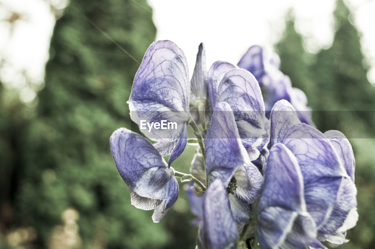nature, beauty in nature, purple, growth, flower, plant, petal, close-up, day, outdoors, no people, focus on foreground, fragility, freshness, flower head, tree