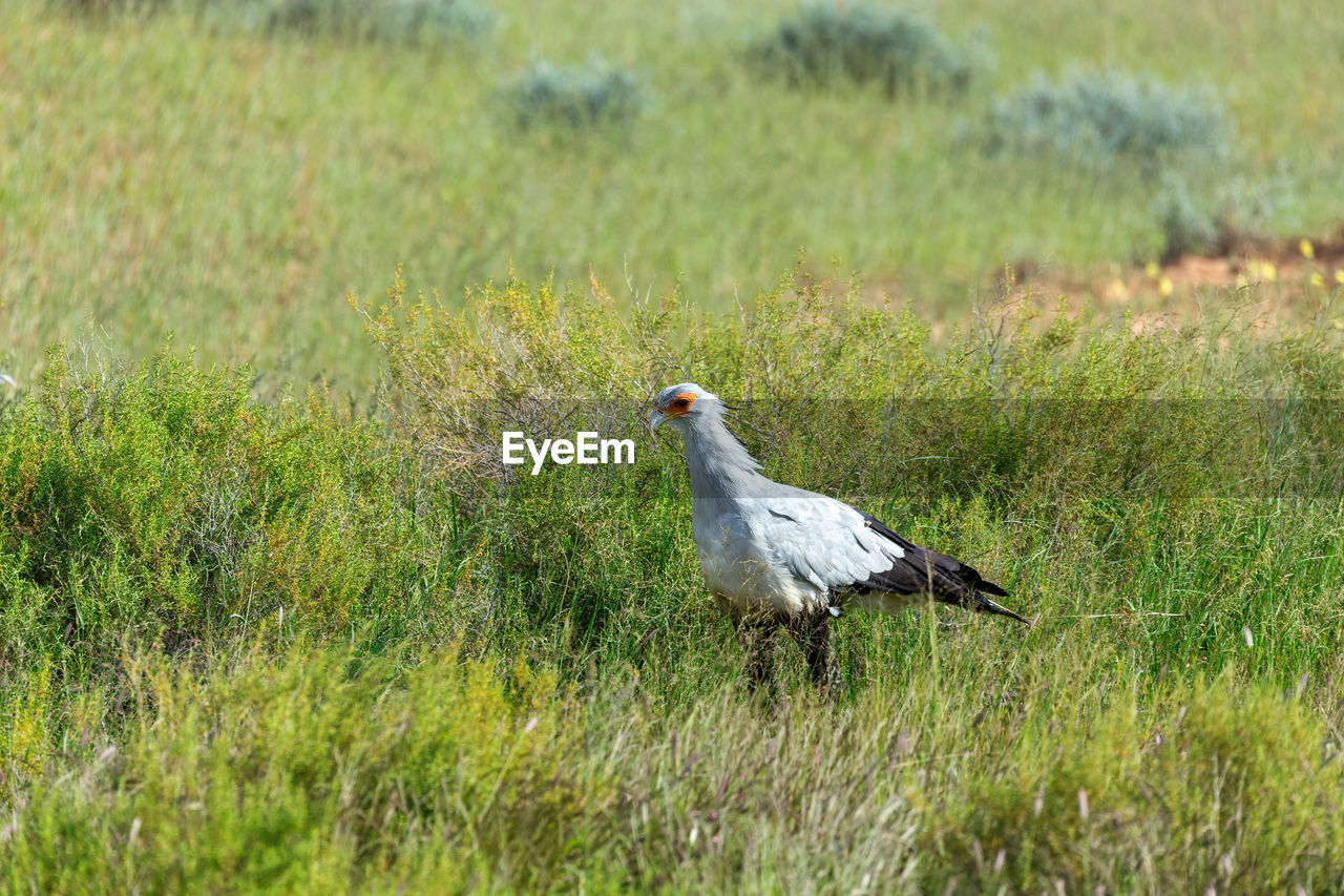 bird, grass, plant, animal, animal themes, animals in the wild, green color, animal wildlife, land, field, vertebrate, nature, one animal, day, growth, no people, side view, outdoors, beauty in nature, selective focus