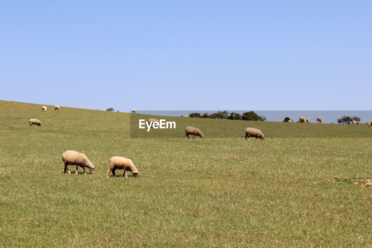 sky, grass, land, field, animal, animal themes, group of animals, copy space, mammal, plant, landscape, clear sky, domestic animals, environment, nature, livestock, vertebrate, large group of animals, domestic, no people, herbivorous, outdoors, herd