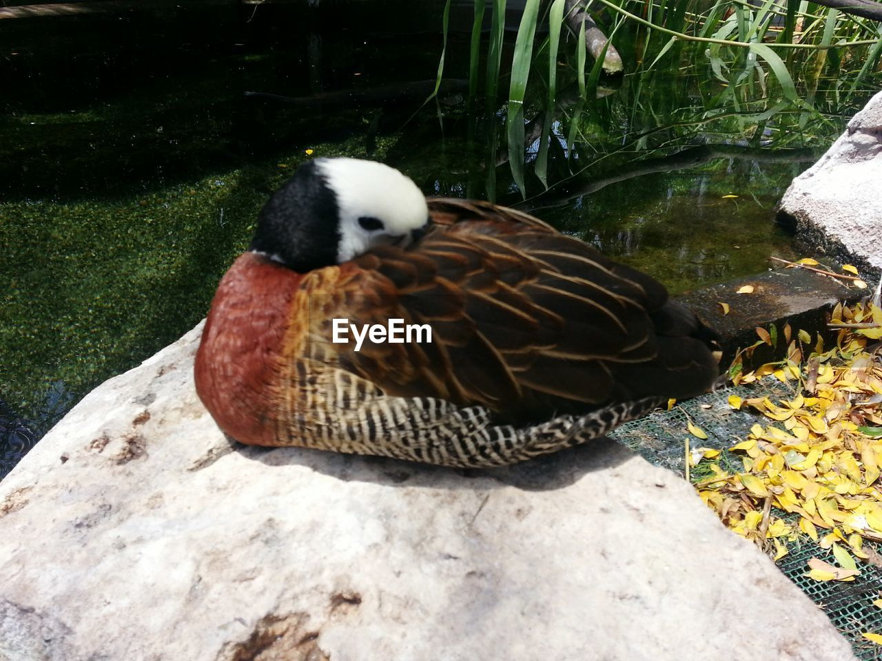 animal themes, animals in the wild, one animal, animal wildlife, bird, nature, day, water, leaf, lake, high angle view, duck, outdoors, no people, close-up