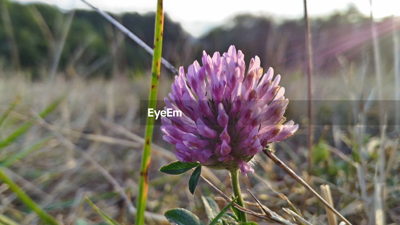 flower, flowering plant, plant, beauty in nature, freshness, fragility, vulnerability, growth, field, close-up, land, focus on foreground, nature, purple, petal, day, no people, inflorescence, flower head, plant stem, outdoors, clover