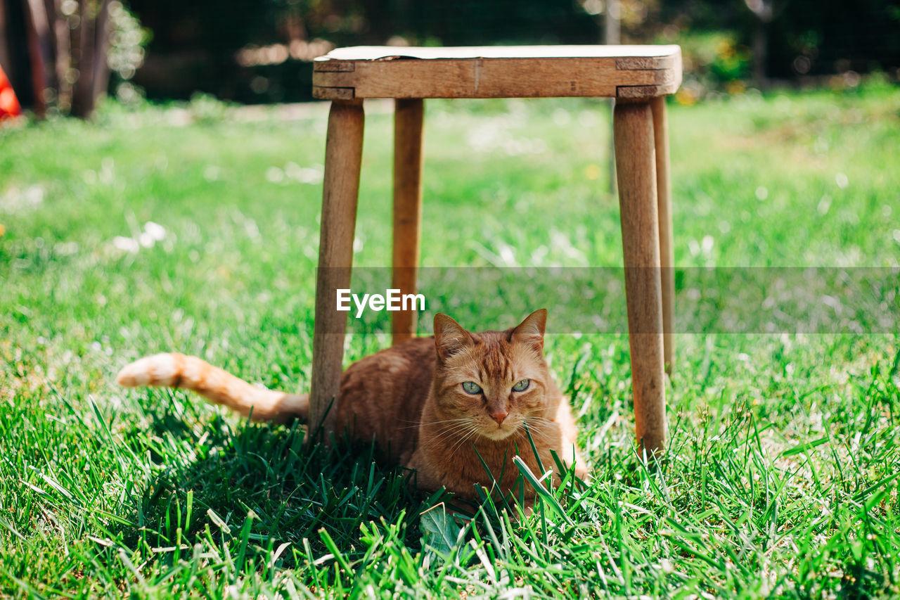 PORTRAIT OF GINGER CAT ON GRASS