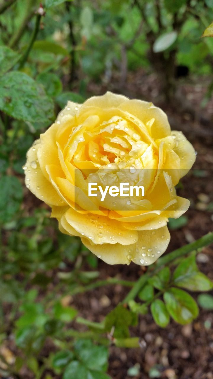 flower, petal, yellow, nature, beauty in nature, rose - flower, growth, fragility, freshness, plant, flower head, close-up, no people, outdoors, blooming, love, day
