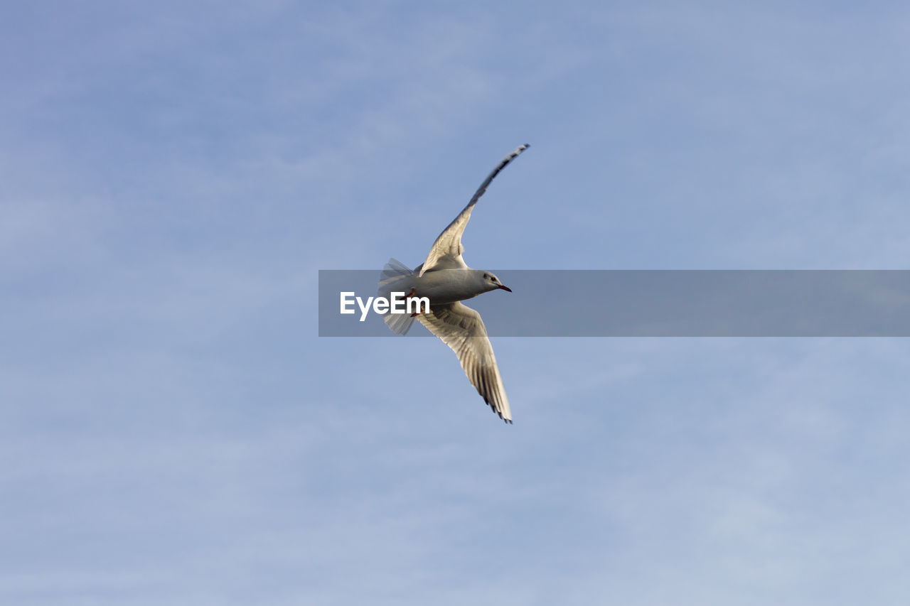 flying, spread wings, low angle view, bird, animal wildlife, sky, animals in the wild, mid-air, vertebrate, one animal, animal themes, animal, no people, motion, day, white color, nature, cloud - sky, seagull, outdoors