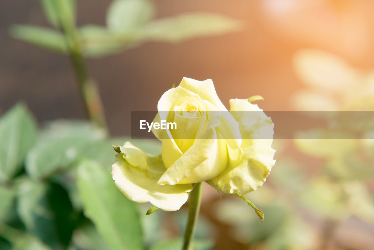 flower, petal, nature, growth, rose - flower, beauty in nature, fragility, plant, flower head, close-up, freshness, outdoors, no people, leaf, focus on foreground, day, sunlight, yellow, blooming