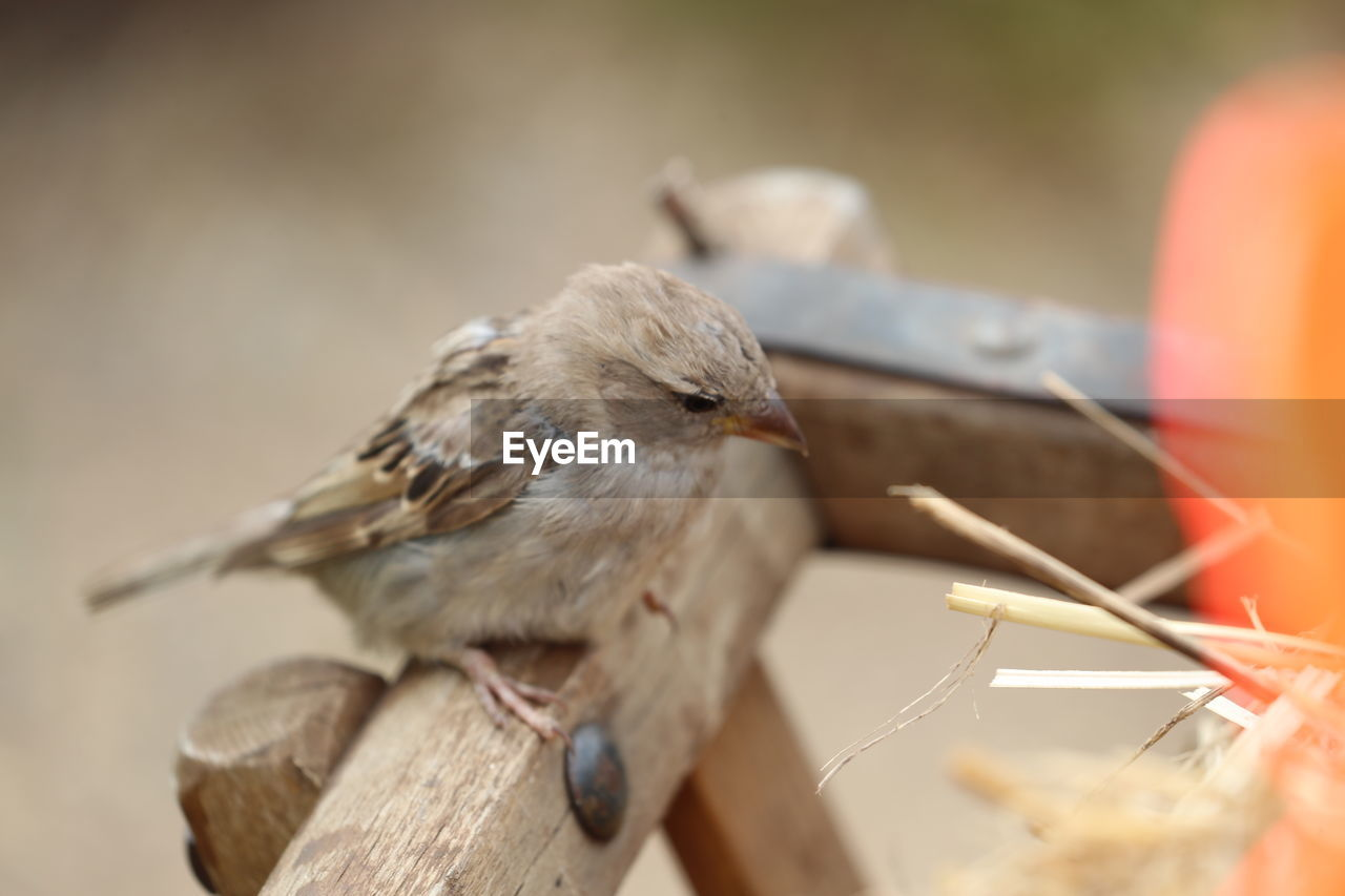 Close-Up Of Sparrow Perching On Wooden Railing