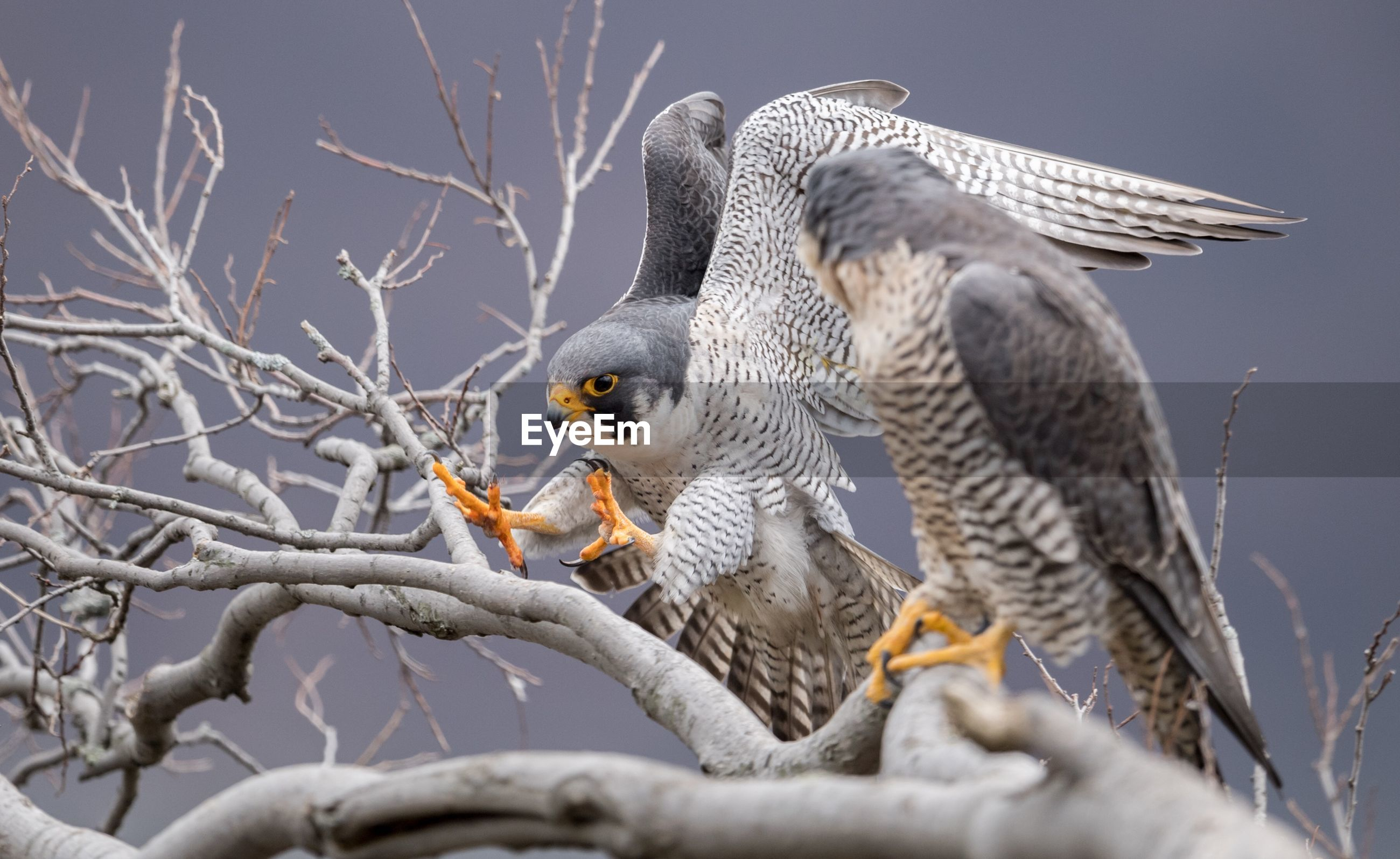 Close-up of falcons perching on branch