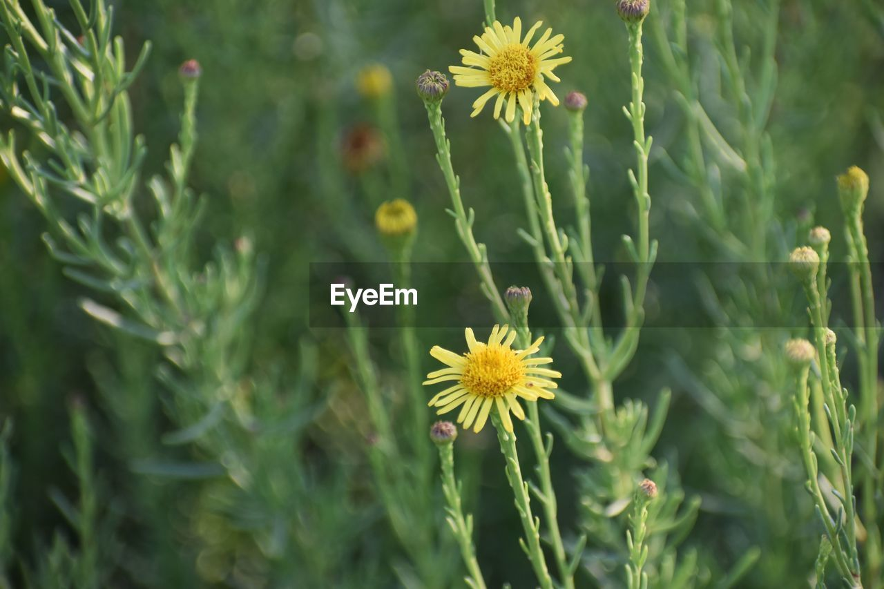 plant, flower, flowering plant, growth, fragility, freshness, beauty in nature, vulnerability, green color, flower head, close-up, yellow, nature, petal, focus on foreground, inflorescence, day, no people, selective focus, field, outdoors