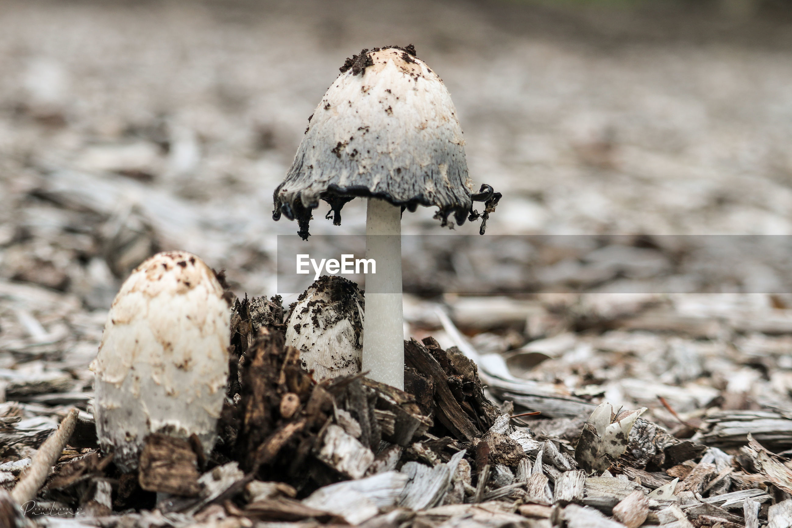 CLOSE-UP OF MUSHROOM GROWING