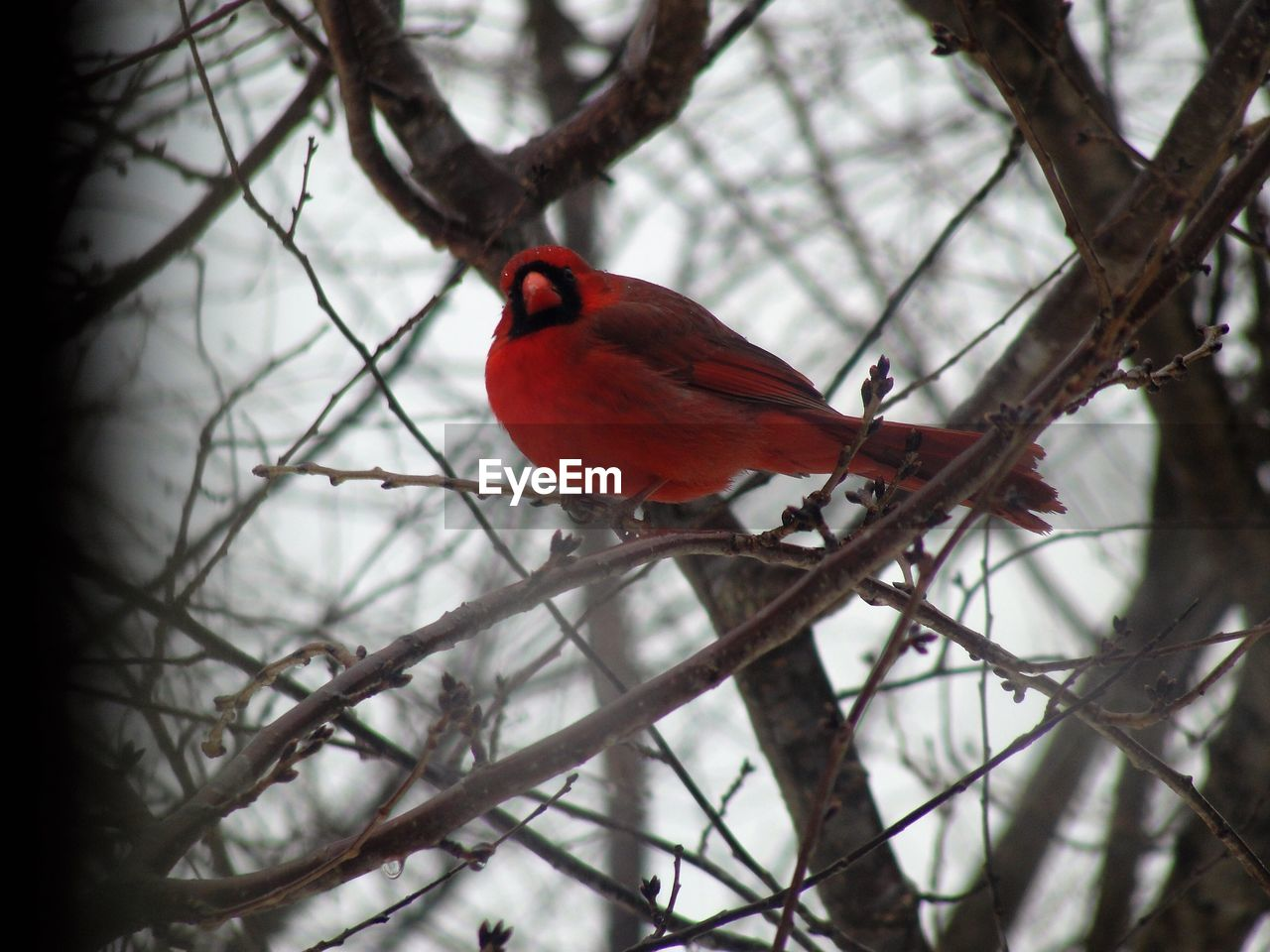 bird, branch, vertebrate, perching, animal themes, tree, cardinal - bird, one animal, animal, animals in the wild, animal wildlife, red, plant, day, no people, focus on foreground, nature, outdoors, bare tree, selective focus