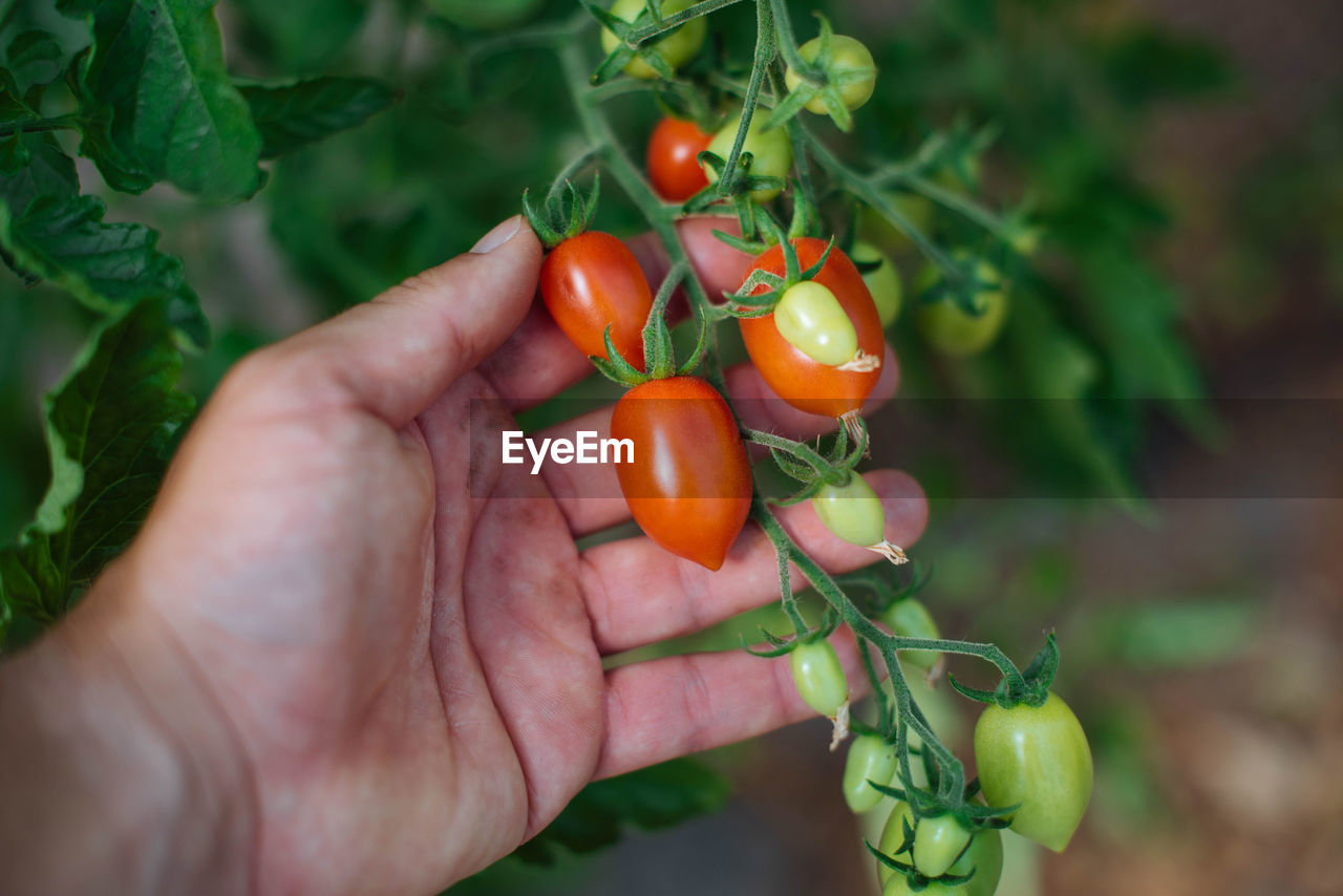 Midsection Of Person Holding Tomatoes