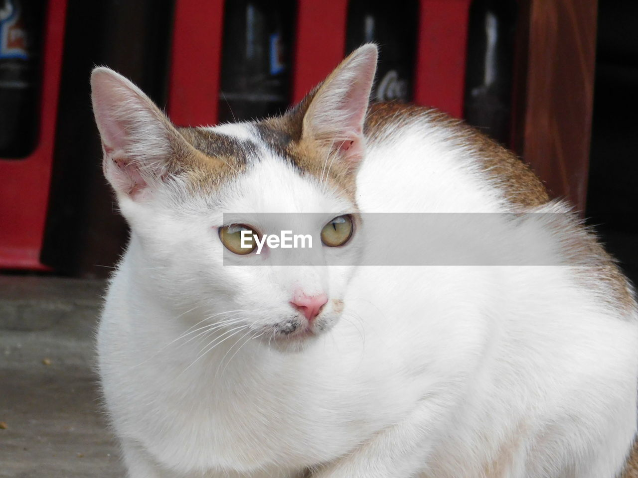 pets, domestic, cat, domestic animals, animal, animal themes, mammal, feline, domestic cat, one animal, vertebrate, white color, close-up, no people, portrait, focus on foreground, looking at camera, whisker, relaxation, indoors, animal head, animal eye, yellow eyes