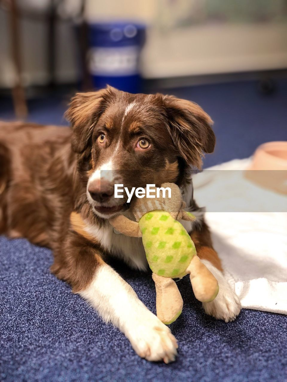 canine, dog, pets, domestic animals, mammal, ball, domestic, animal themes, animal, one animal, tennis, sport, looking at camera, tennis ball, portrait, no people, vertebrate, toy, focus on foreground, indoors