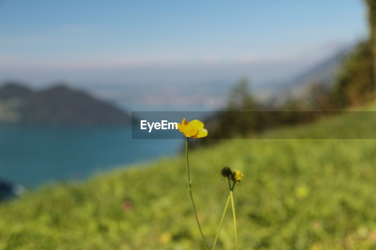 flower, nature, beauty in nature, yellow, growth, focus on foreground, plant, fragility, field, day, outdoors, flower head, freshness, no people, petal, tranquility, close-up, water, scenics, blooming, sky, animal themes