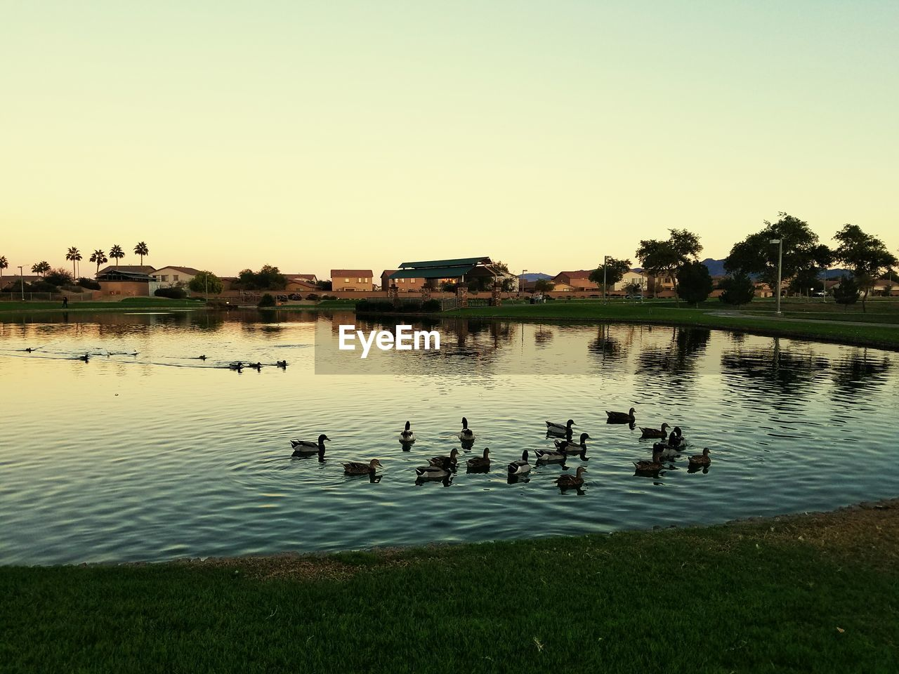 bird, animals in the wild, water, large group of animals, animal themes, lake, animal wildlife, reflection, flock of birds, nature, outdoors, no people, clear sky, goose, water bird, waterfront, swimming, sunset, geese, day, beauty in nature, tree, sky, swan