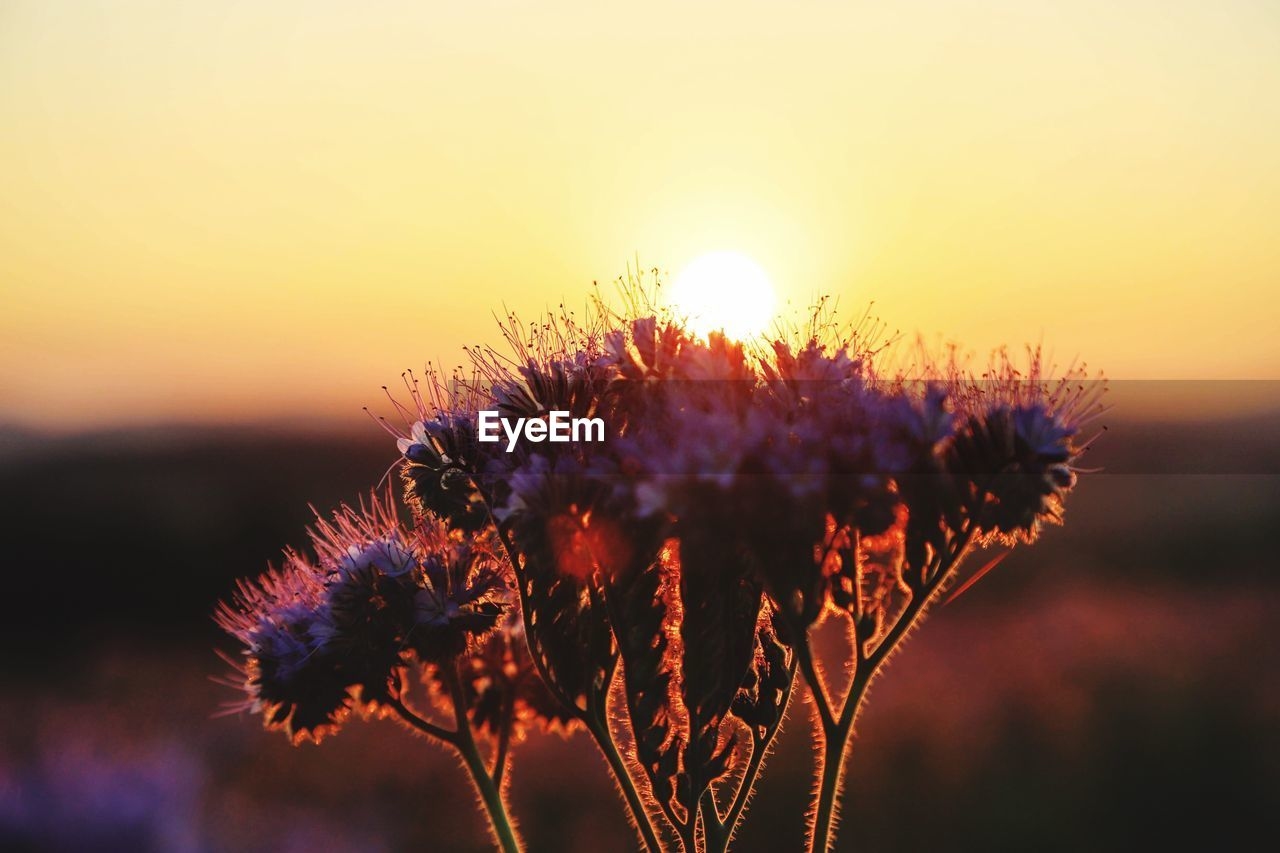 sunset, plant, beauty in nature, flower, flowering plant, growth, sky, focus on foreground, nature, freshness, close-up, fragility, vulnerability, no people, sunlight, tranquility, outdoors, plant stem, sun, flower head, purple, wilted plant