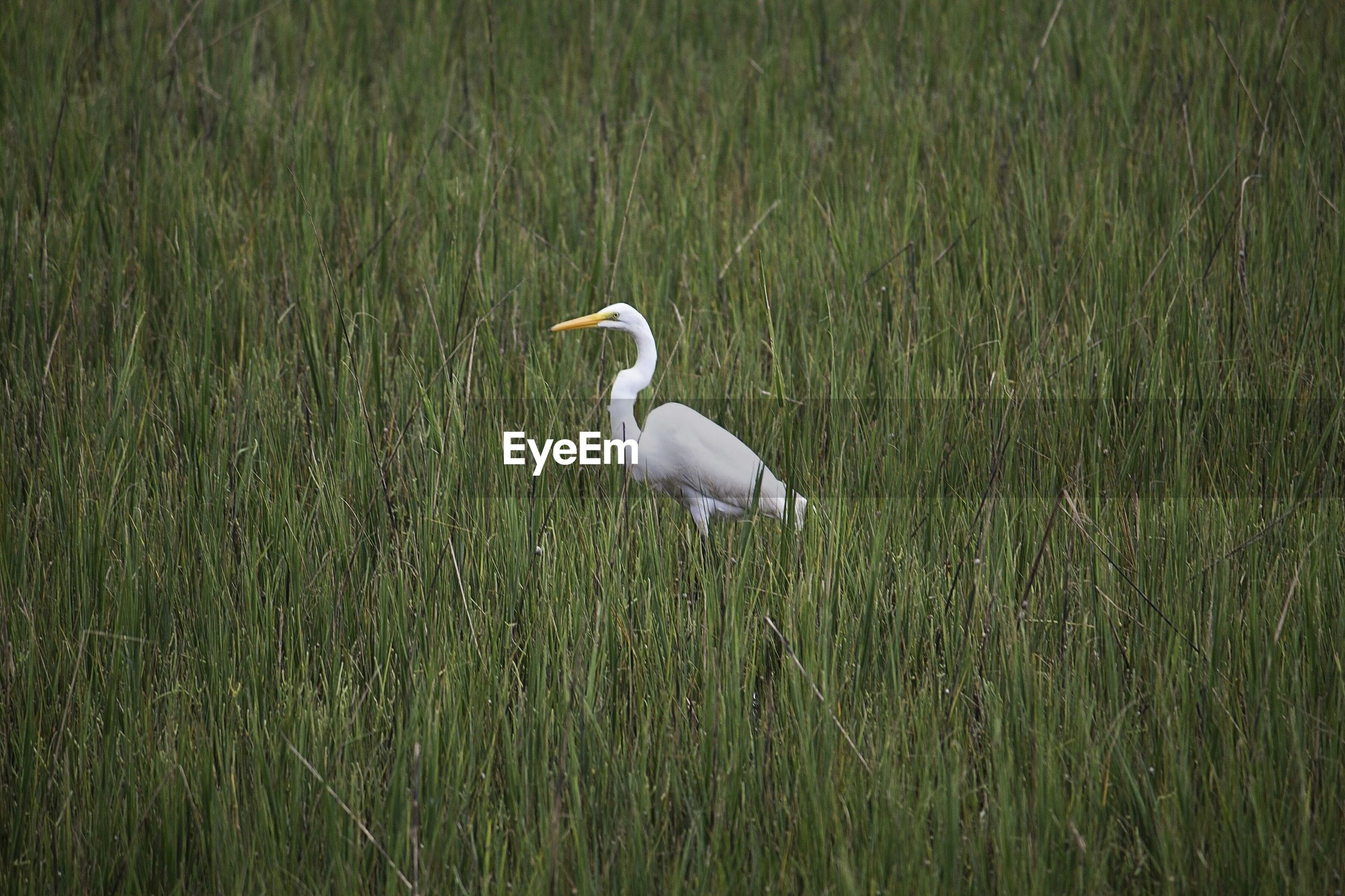 bird, animals in the wild, animal themes, wildlife, grass, one animal, nature, side view, field, beak, lake, green color, beauty in nature, heron, full length, outdoors, plant, day, no people, growth