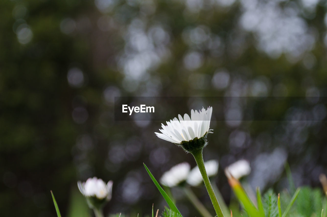 flower, flowering plant, freshness, plant, vulnerability, fragility, beauty in nature, growth, close-up, petal, flower head, day, focus on foreground, inflorescence, nature, white color, no people, plant stem, outdoors, green color