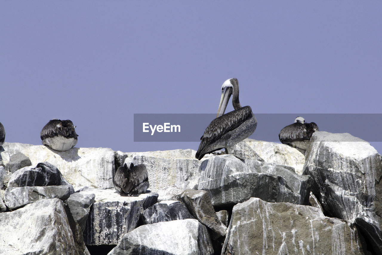 Low angle view of birds perching on rocks against clear sky