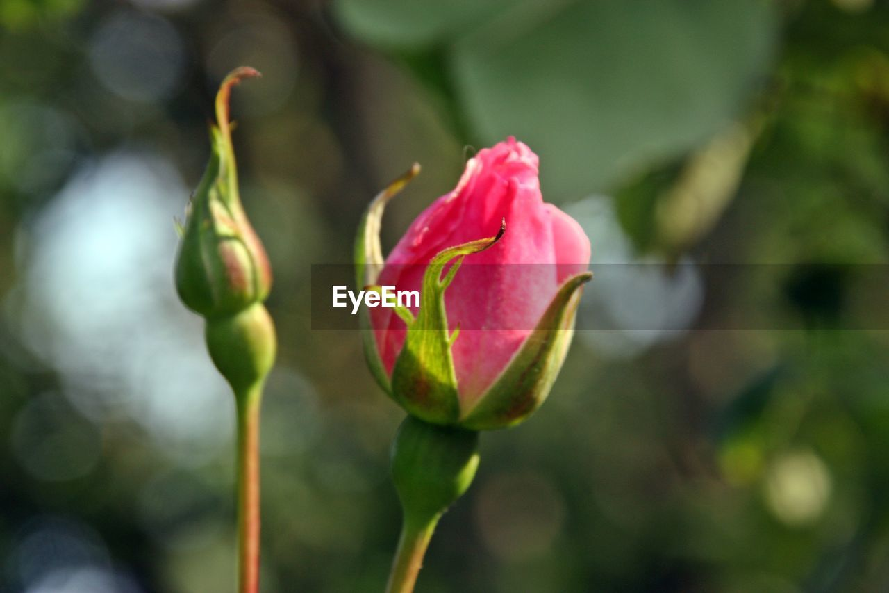 flower, flowering plant, beauty in nature, plant, vulnerability, fragility, growth, freshness, petal, close-up, beginnings, focus on foreground, rose, nature, inflorescence, flower head, bud, rose - flower, new life, day, no people, pink color, outdoors, sepal