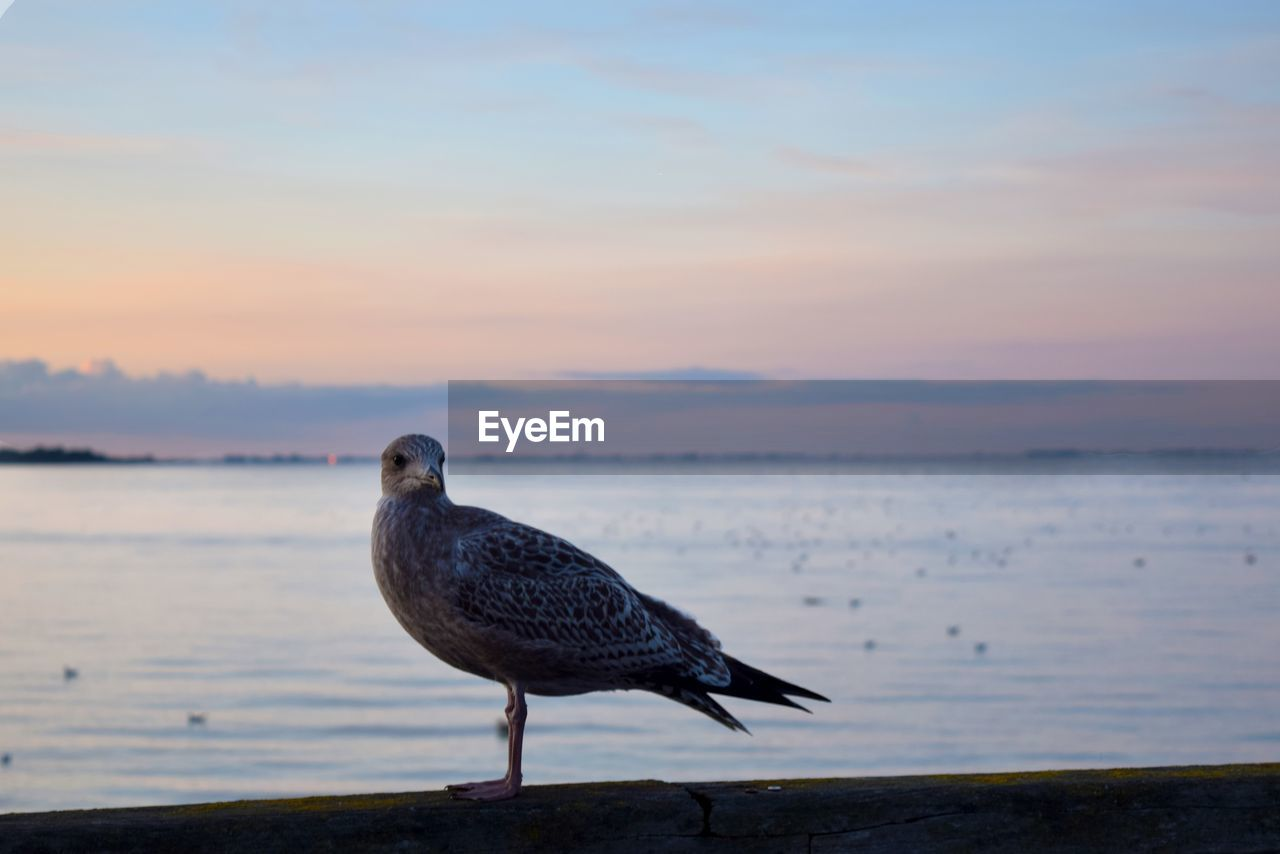 sky, animal wildlife, water, animal, animals in the wild, bird, animal themes, sea, vertebrate, one animal, sunset, perching, nature, beauty in nature, scenics - nature, no people, seagull, beach, focus on foreground, outdoors