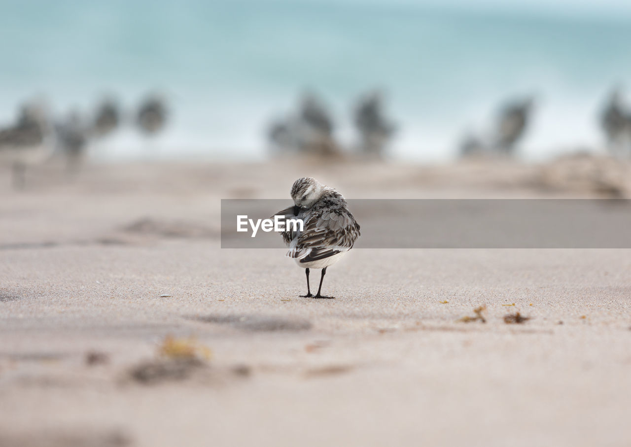 animal, animals in the wild, land, animal wildlife, animal themes, vertebrate, bird, selective focus, sand, beach, one animal, day, nature, no people, outdoors, sunlight, close-up, perching, sparrow, zoology, surface level