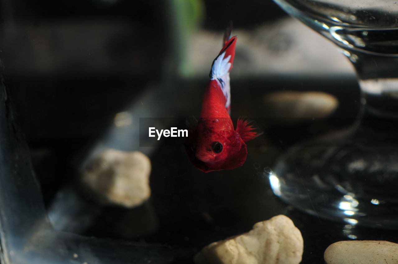 CLOSE-UP OF FISH SWIMMING IN GLASS