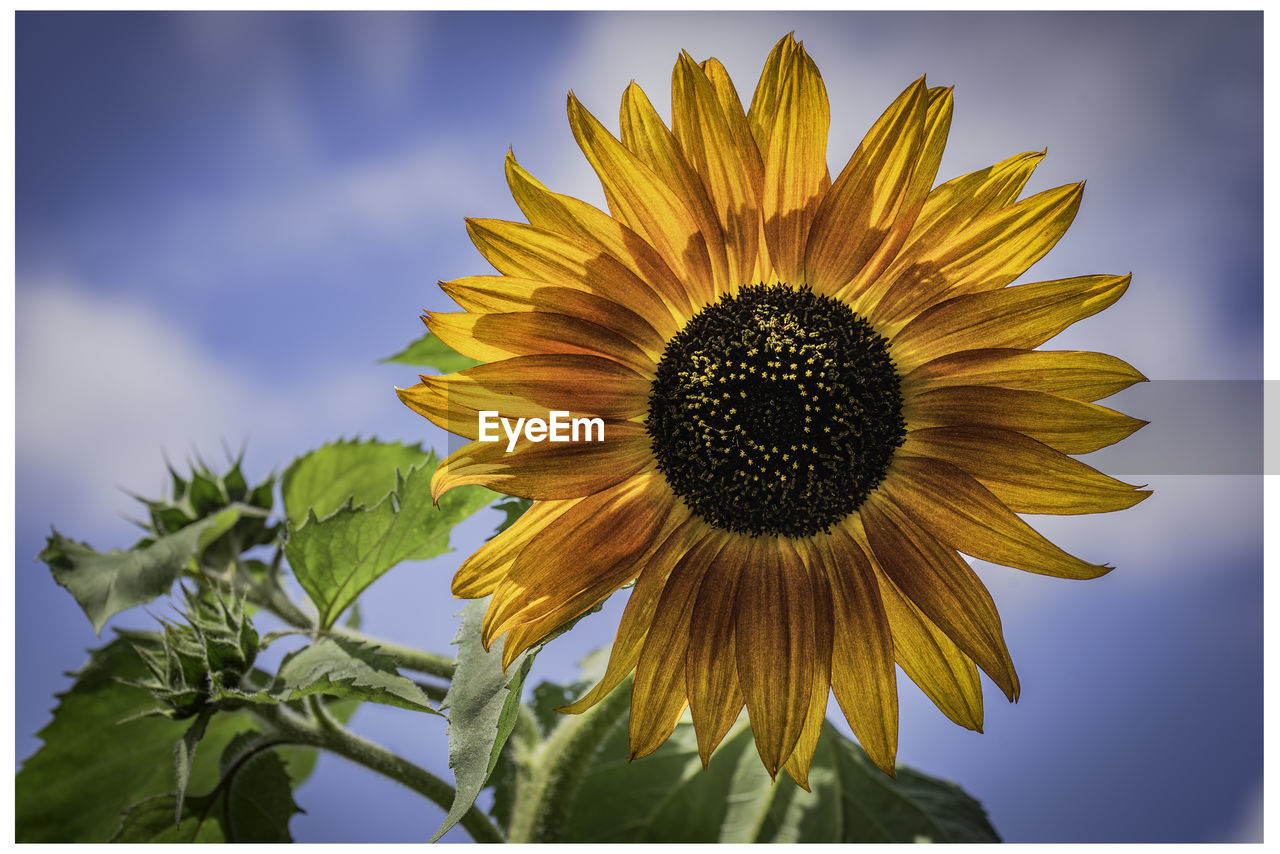 plant, yellow, flower, flowering plant, flower head, petal, inflorescence, freshness, beauty in nature, vulnerability, growth, fragility, transfer print, sunflower, close-up, sky, nature, pollen, auto post production filter, no people, outdoors, sepal