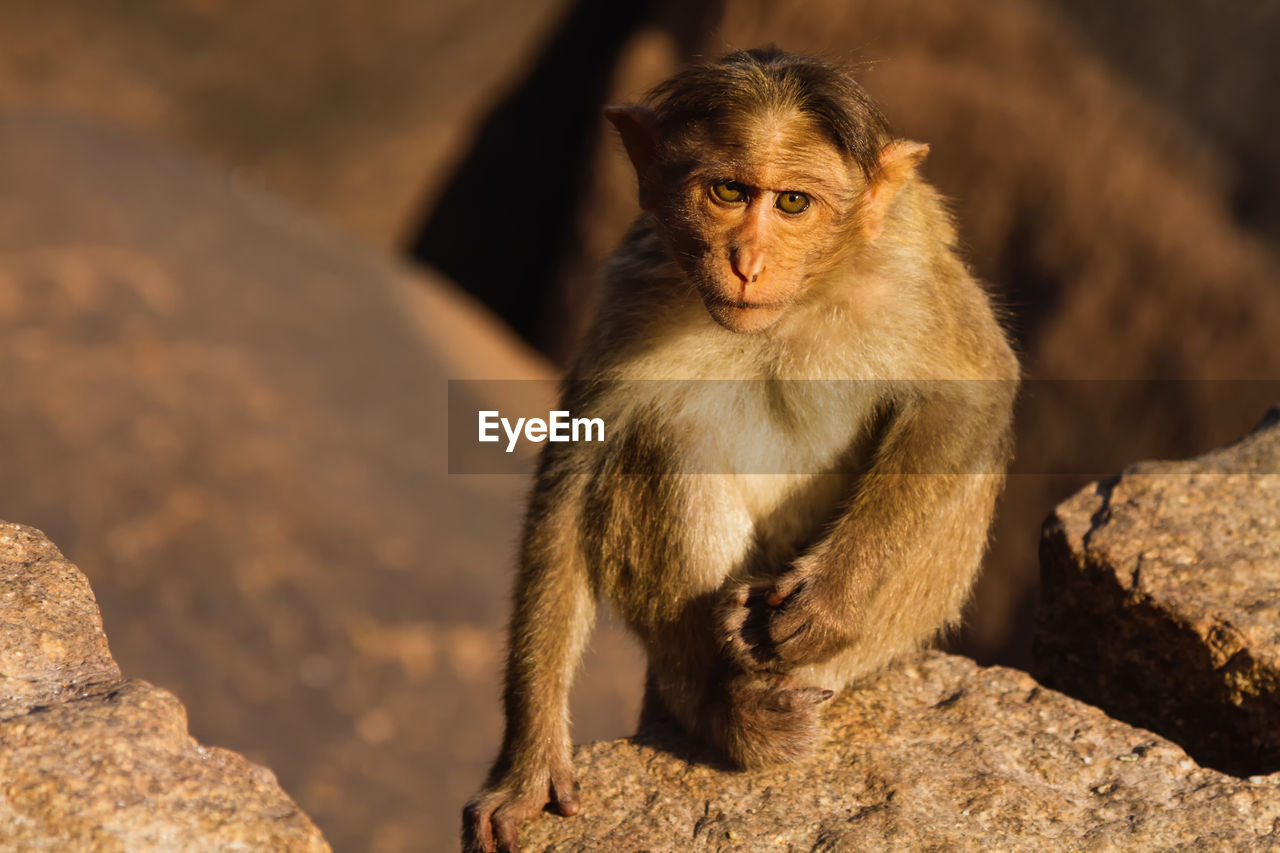 Portrait Of Monkey On Rock