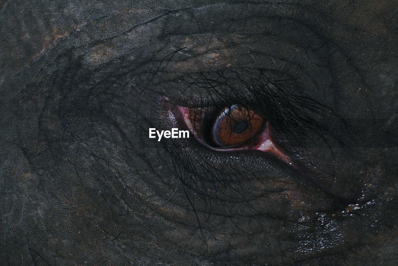 eye, sensory perception, animal eye, close-up, animal body part, one animal, animal, full frame, animal themes, no people, elephant, backgrounds, extreme close-up, animals in the wild, mammal, eyelash, eyesight, animal wildlife, body part, vertebrate, eyeball, iris - eye, animal head, eyelid