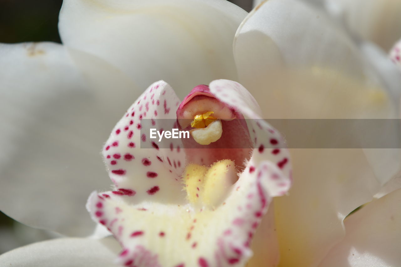 flower, flowering plant, freshness, beauty in nature, plant, close-up, vulnerability, fragility, growth, petal, selective focus, inflorescence, flower head, no people, pollen, pink color, white color, nature, day, softness, temptation