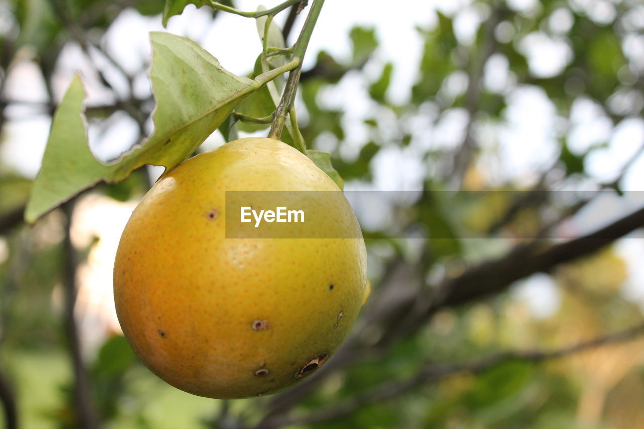 fruit, healthy eating, food, plant, food and drink, focus on foreground, tree, growth, freshness, no people, close-up, day, wellbeing, nature, fruit tree, branch, leaf, plant part, outdoors, green color, ripe