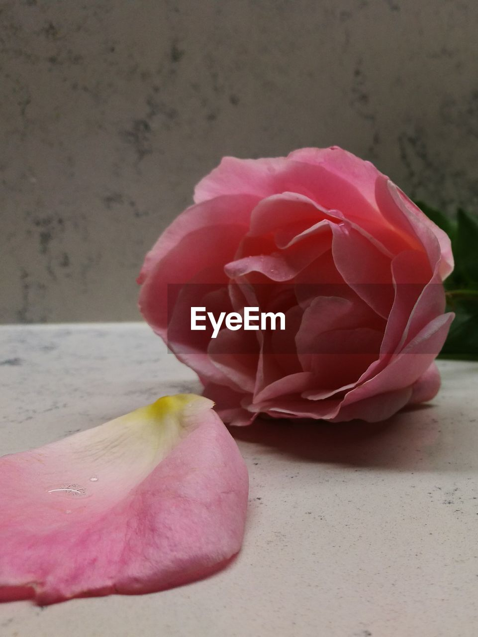flower, petal, fragility, flower head, pink color, rose - flower, nature, beauty in nature, close-up, freshness, no people, growth, day, blooming, outdoors
