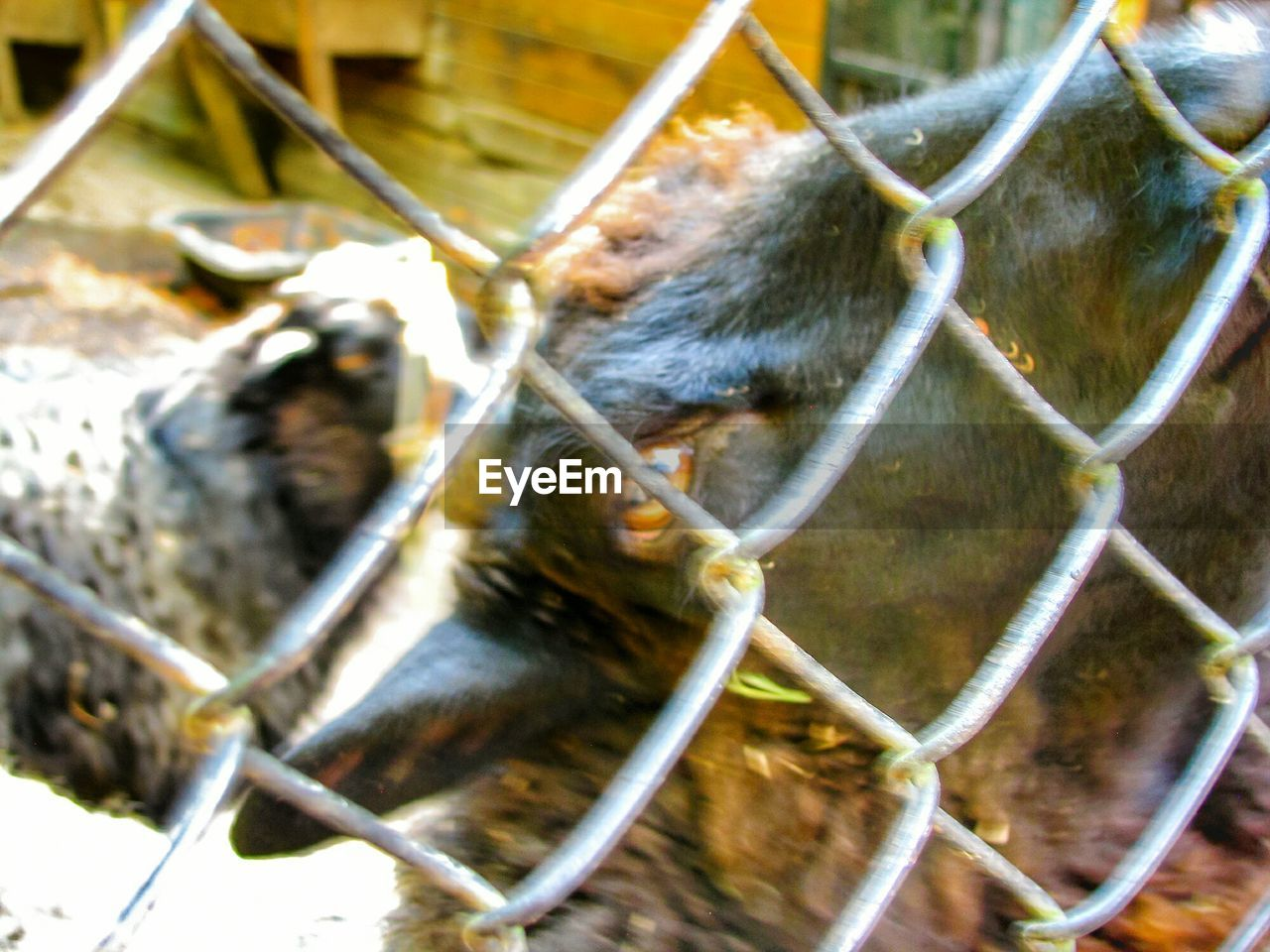 animal, animal themes, mammal, vertebrate, one animal, animal wildlife, no people, fence, close-up, animals in captivity, monkey, day, chainlink fence, animal body part, primate, barrier, boundary, nature, cage, zoo, animal head