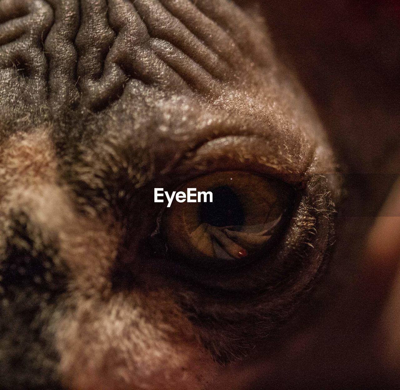 one animal, animal themes, pets, animal body part, mammal, domestic animals, animal head, dog, close-up, animal eye, indoors, no people, nature, day, eyeball