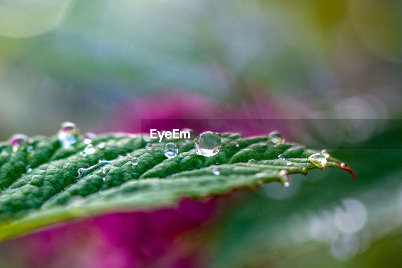 close-up, drop, wet, green color, freshness, selective focus, no people, water, plant, leaf, plant part, nature, beauty in nature, day, growth, vulnerability, fragility, outdoors, food and drink, dew, purity, raindrop