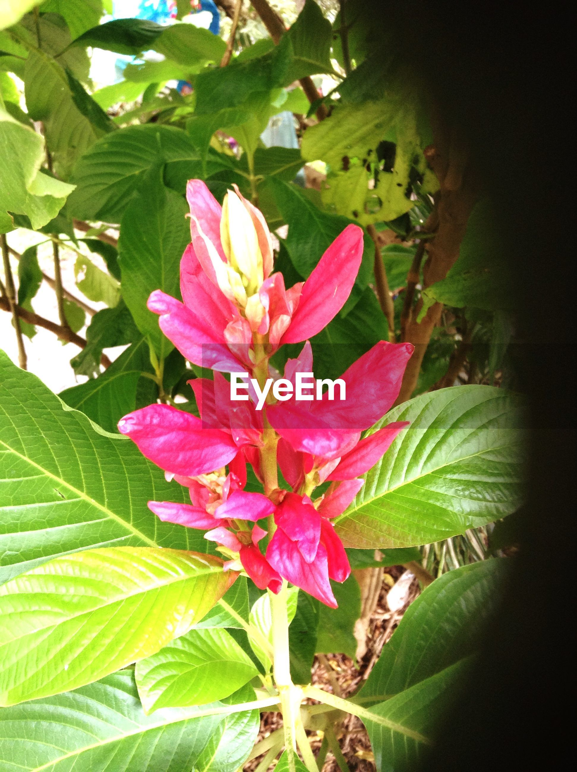 flower, freshness, leaf, growth, petal, fragility, beauty in nature, flower head, plant, close-up, nature, green color, blooming, pink color, focus on foreground, in bloom, outdoors, day, blossom, no people