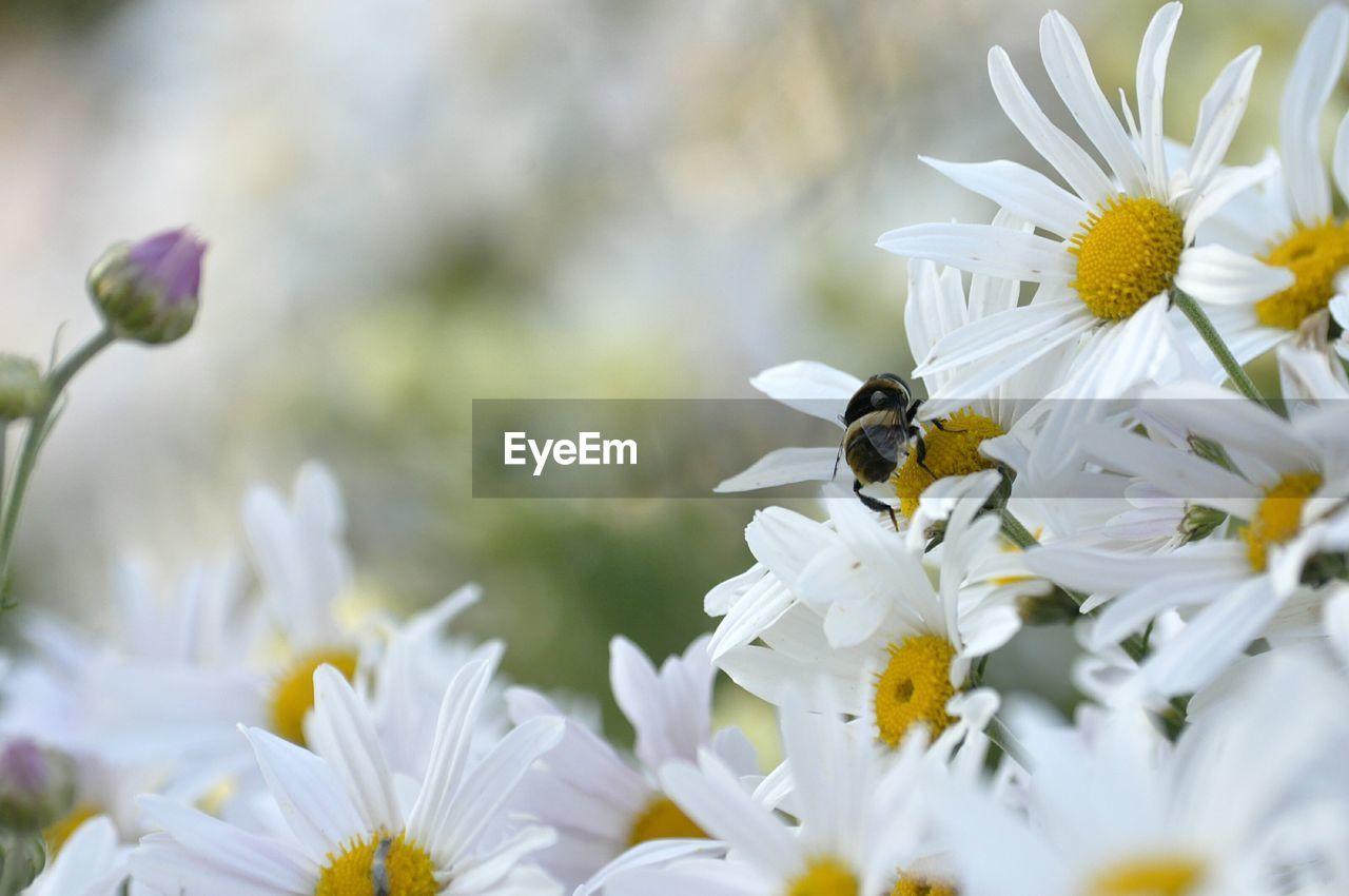 flowering plant, flower, fragility, vulnerability, beauty in nature, freshness, invertebrate, plant, petal, insect, animals in the wild, growth, animal themes, animal wildlife, animal, flower head, bee, one animal, close-up, white color, pollination, pollen, no people, springtime