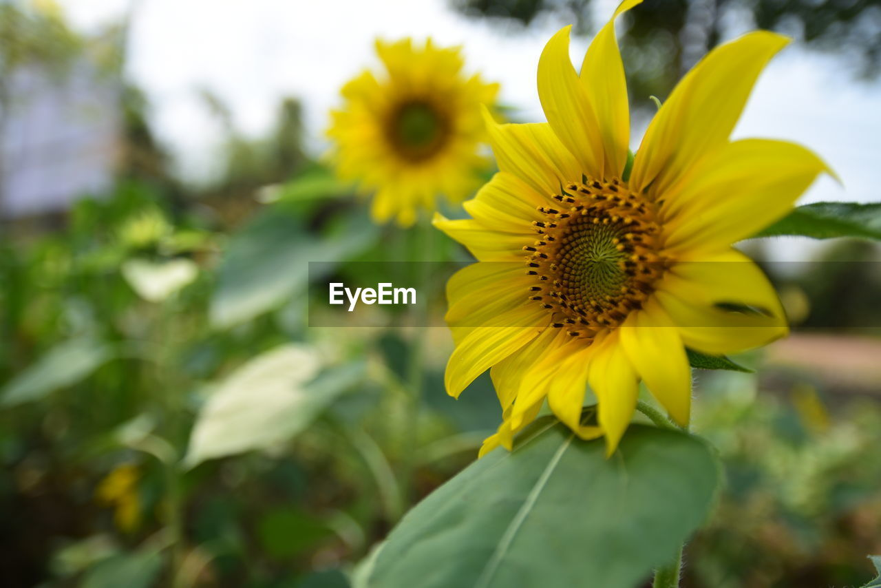 flower, fragility, yellow, petal, nature, beauty in nature, growth, freshness, flower head, plant, pollen, blooming, outdoors, sunflower, close-up, day, no people
