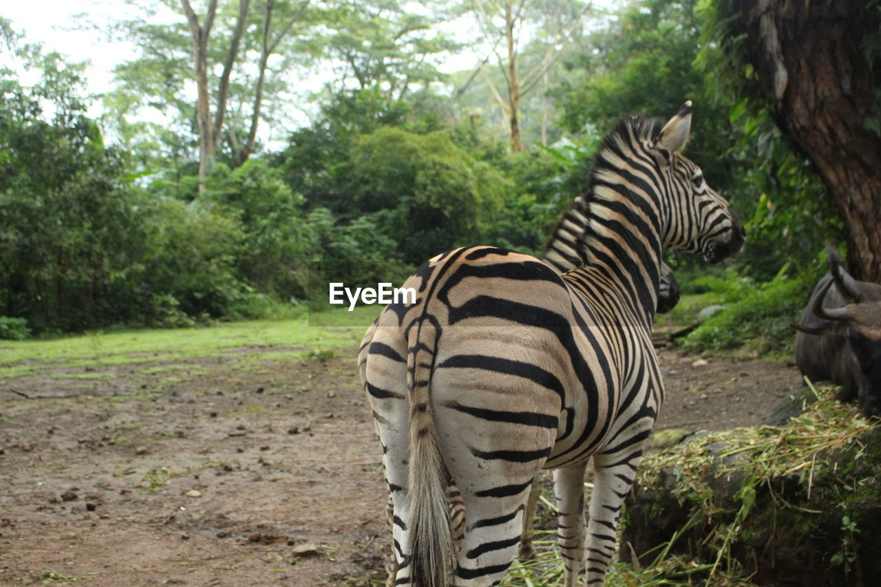 animal wildlife, tree, animal themes, animal, animals in the wild, plant, mammal, group of animals, zebra, striped, nature, forest, day, no people, land, safari, vertebrate, two animals, outdoors, herbivorous, zoo