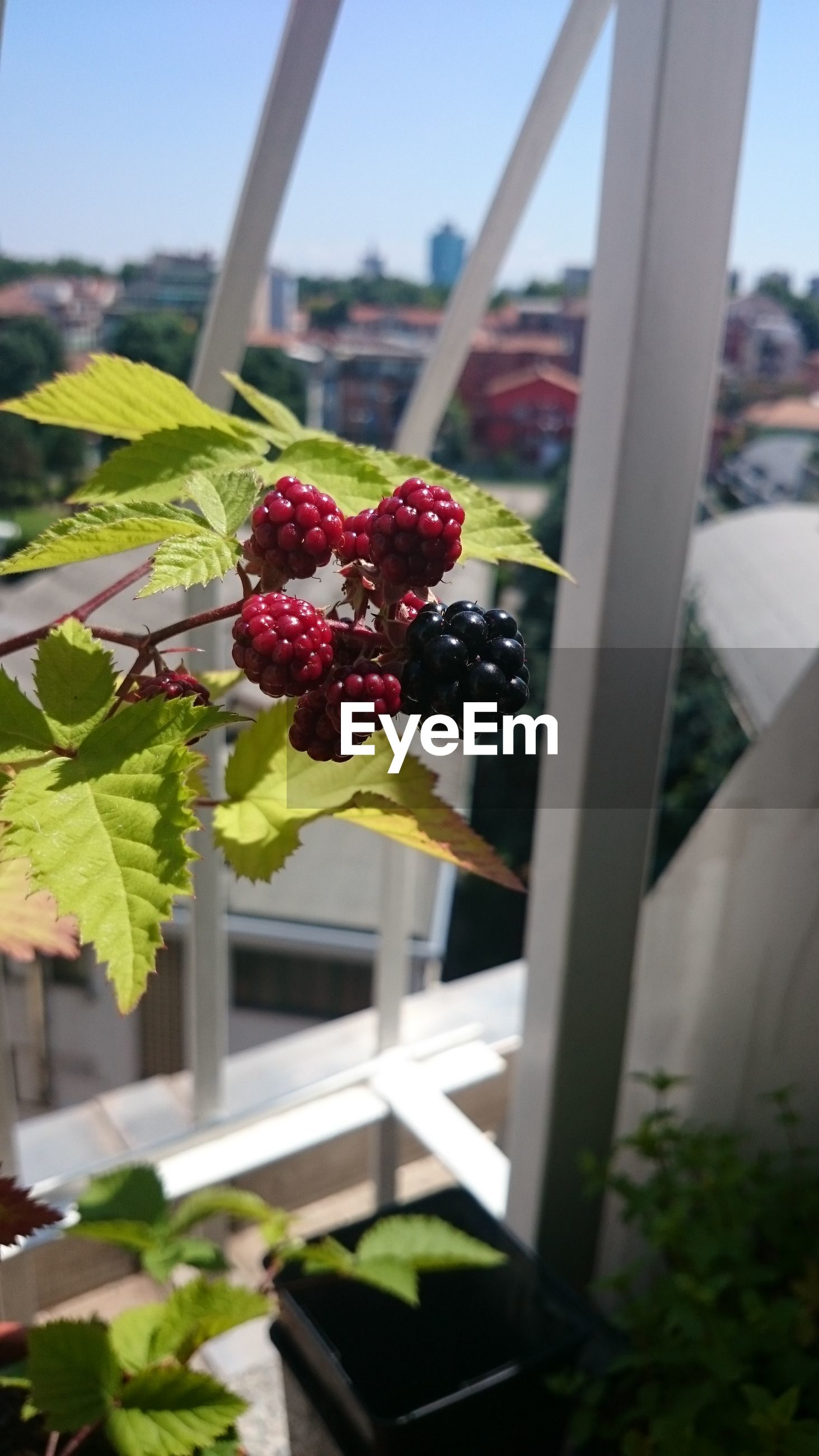 fruit, focus on foreground, freshness, healthy eating, no people, berry fruit, growth, close-up, food and drink, day, nature, tree, plant, outdoors, food, sky
