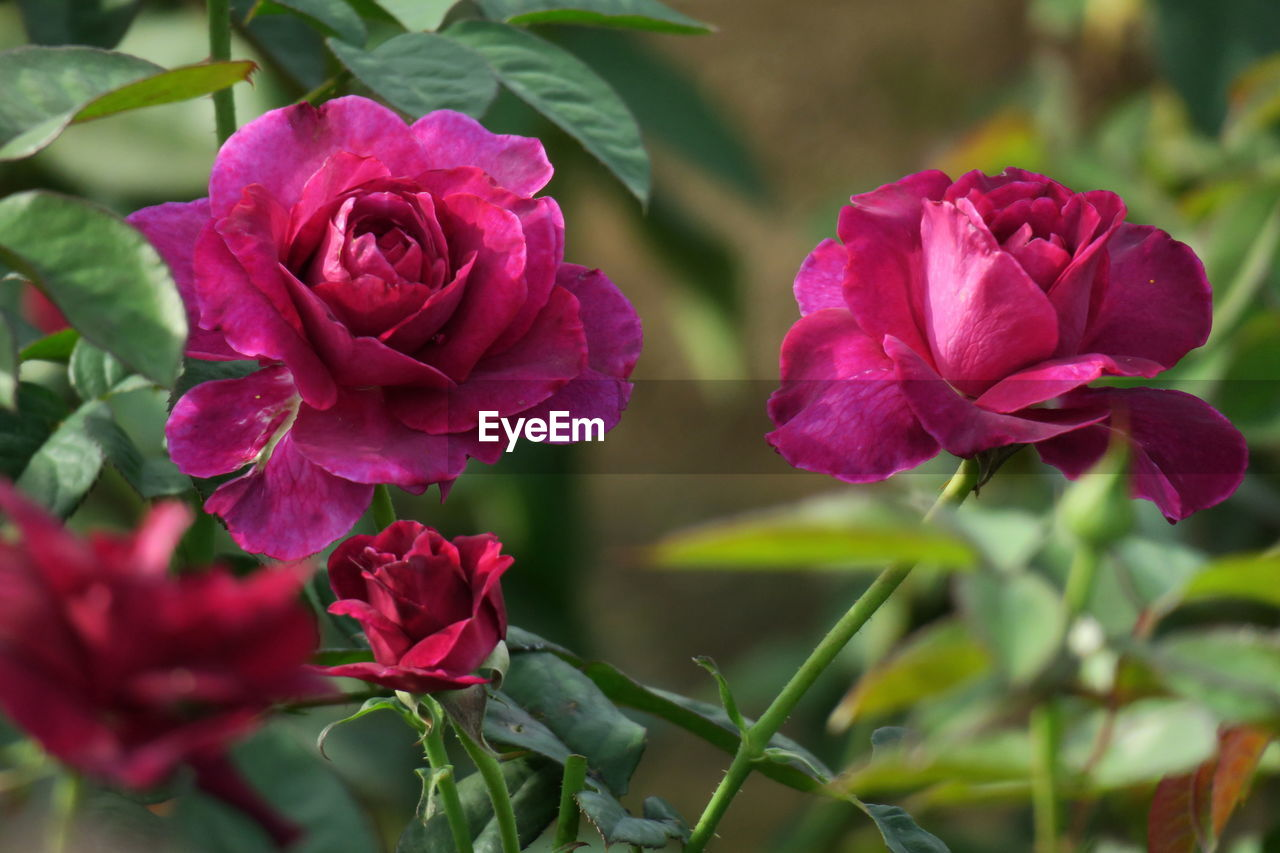 flower, petal, fragility, nature, beauty in nature, rose - flower, flower head, growth, pink color, no people, plant, freshness, blooming, close-up, outdoors, day