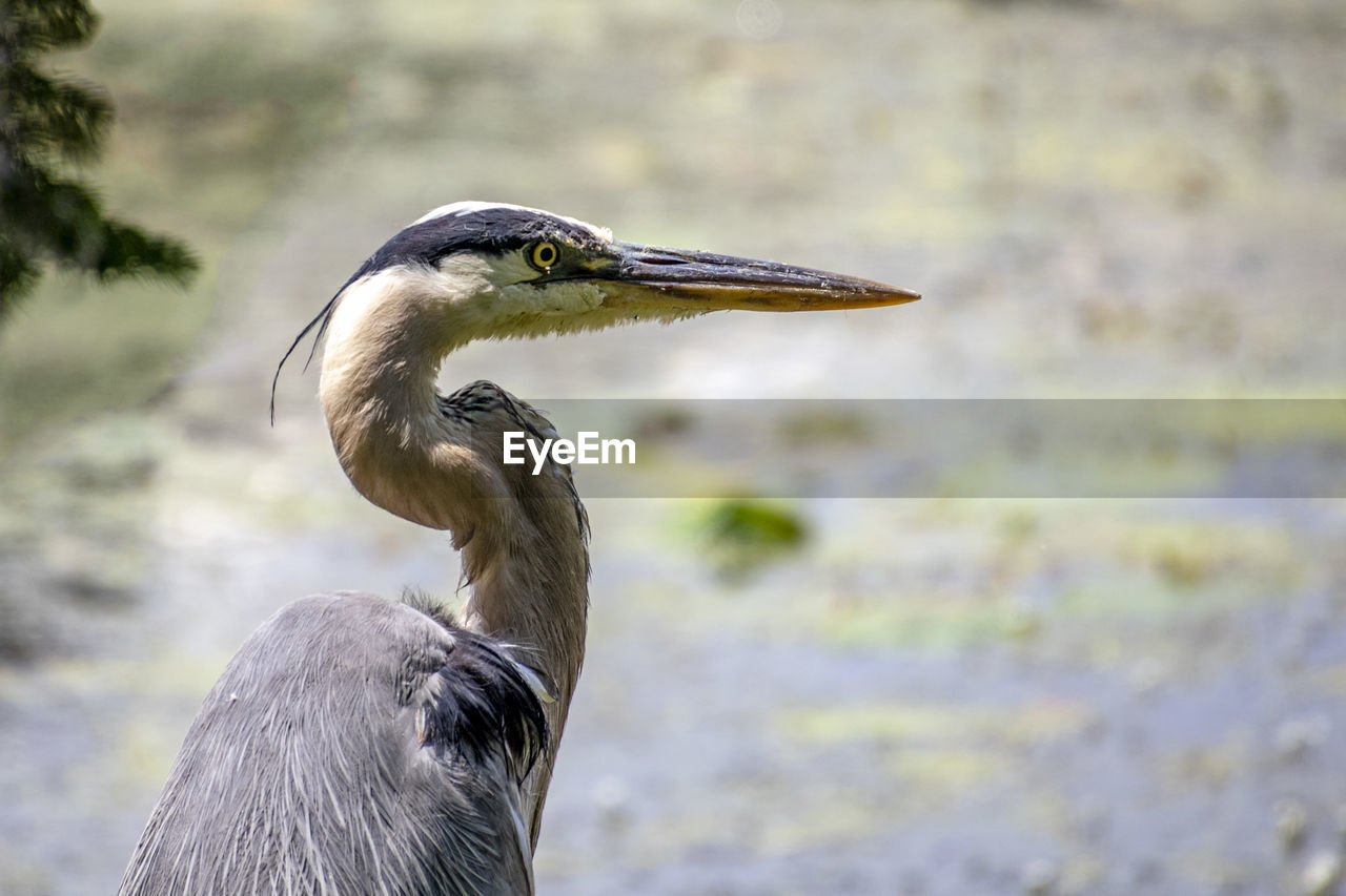animal themes, vertebrate, bird, animals in the wild, animal, animal wildlife, one animal, heron, focus on foreground, water bird, beak, day, nature, no people, close-up, great blue heron, animal body part, water, outdoors, animal neck, animal head, profile view