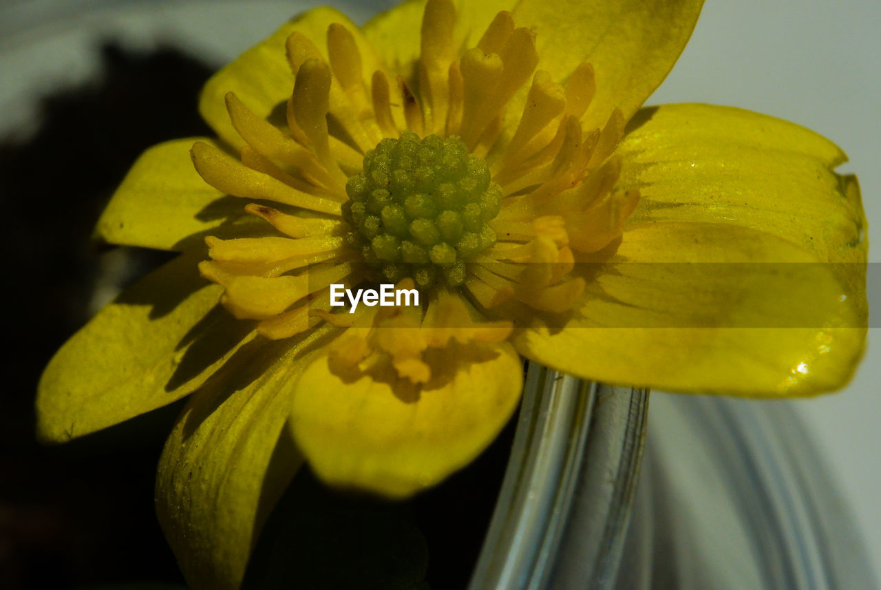 flower, flowering plant, vulnerability, fragility, flower head, freshness, inflorescence, plant, yellow, beauty in nature, petal, close-up, growth, pollen, nature, no people, focus on foreground, botany, outdoors